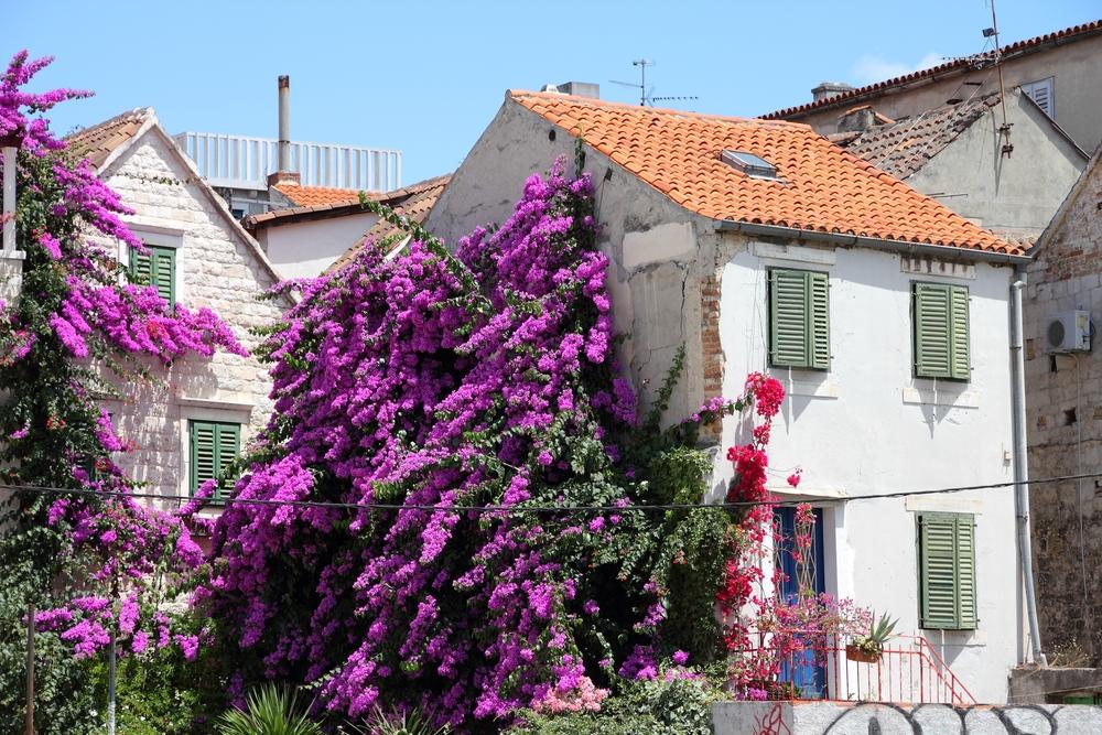 Bougainvillea flowers in old town